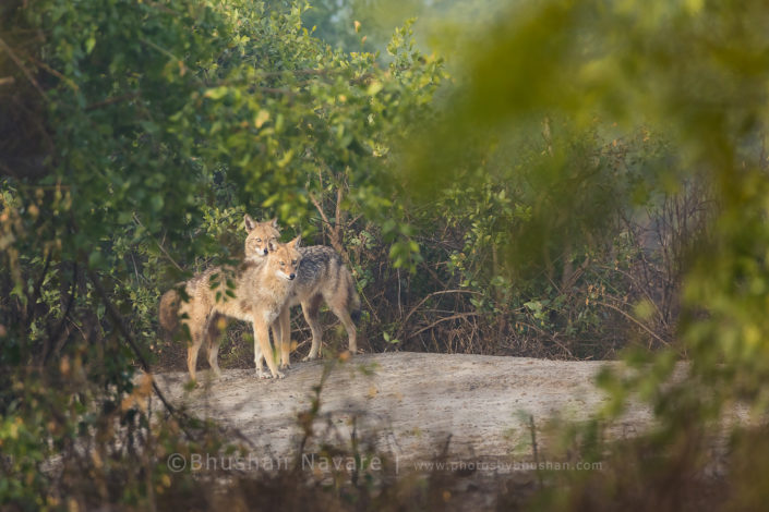 Jackal Couple @Keoladev National Park, Bharatpur
