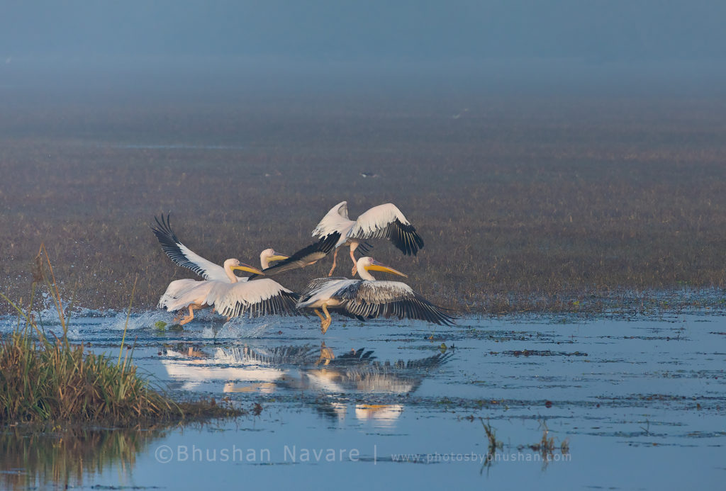 Pelicans @Keoladeo National Park, Bharatpur