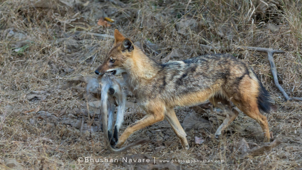 Jackal running with a monkey kill @Pench