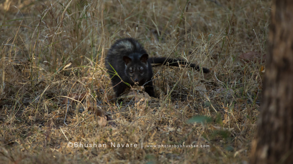 Asian Palm Civet in broad daylight @Pench