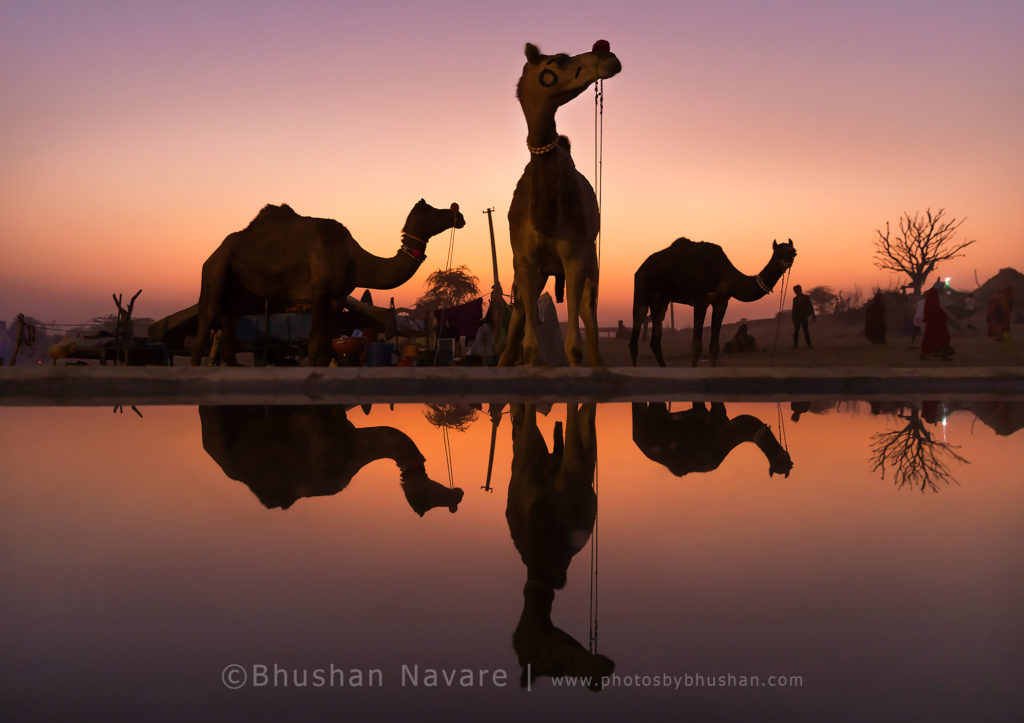 Evenings @Pushkar Camel Trading Ground