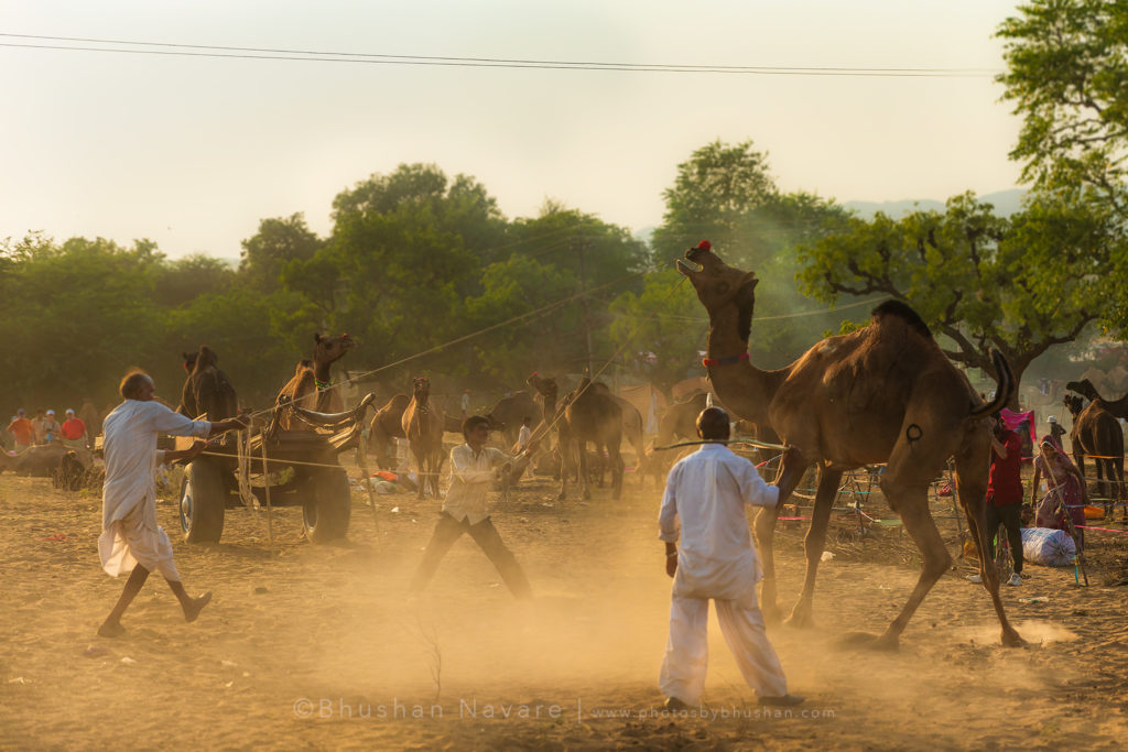 Taming the Camel @Pushkar