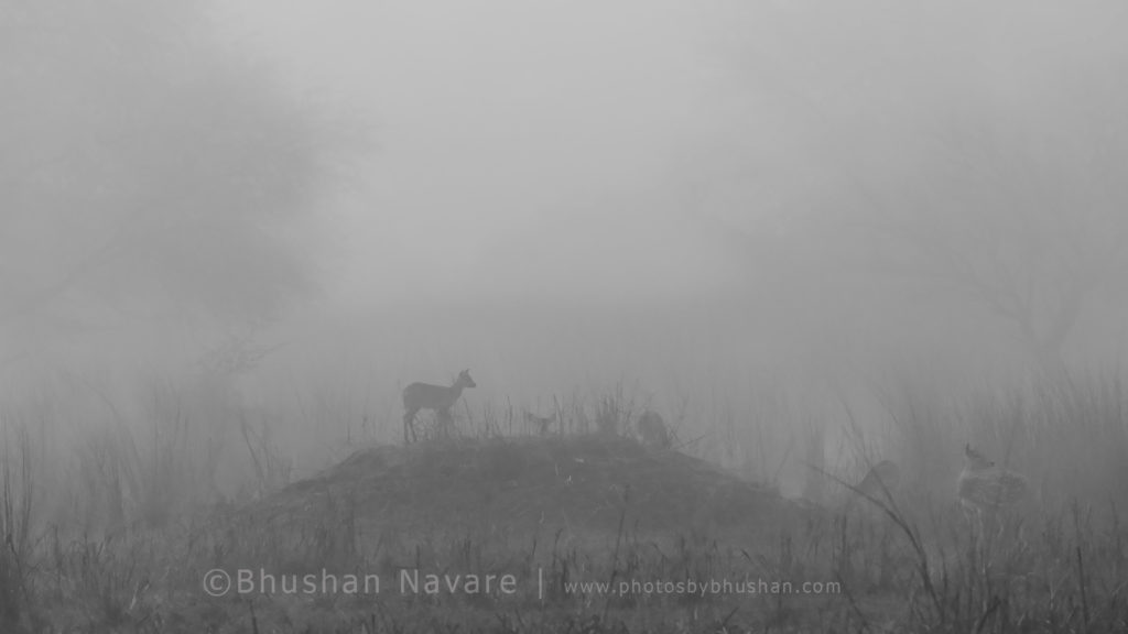 Spotted Deer Family in Fog @Keoladeo National Park, Bharatpur